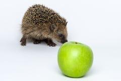 Jeże no jedzą jabłka Fotografia Stock