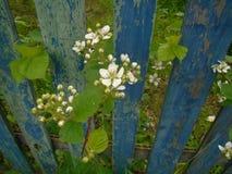 Jeżynowy wiosny okwitnięcie Obraz Stock
