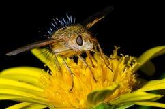 Jeżatki komarnica Obrazy Royalty Free