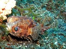 Jeżatki ryba duzi oczy Zdjęcia Royalty Free
