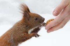 je dokrętki wiewiórki zdjęcie stock