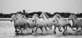 Jeździec na Camargue koniu galopuje przez bagna Zdjęcie Royalty Free
