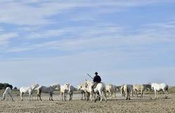 On jeździec na koniu i bielu Camargue koniach Obraz Royalty Free