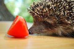 Jeż i pomidor Zdjęcia Stock