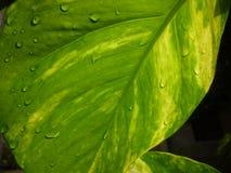 Je soumets une image de paysage d'une feuille verte d'argent-usine photos libres de droits