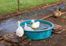 Je vous joindrai pour des oisons d'un bain Photo stock
