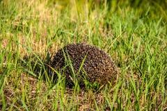 Jeż w trawie. Obrazy Royalty Free