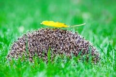 Jeż w trawie Obrazy Royalty Free