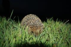 Jeż w trawie Zdjęcia Stock