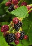 Jeżynowa owoc w ogródzie Zdjęcie Royalty Free