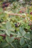 Jeżynowe jagody w ogródzie Obraz Stock