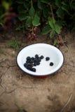 Jeżynowe jagody w ogródzie Zdjęcia Royalty Free
