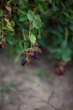 Jeżynowe jagody w ogródzie Obrazy Royalty Free