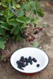 Jeżynowe jagody w ogródzie Zdjęcie Stock