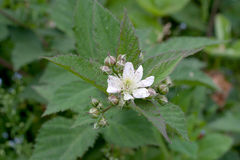 Jeżynowi kwiaty Zdjęcie Stock