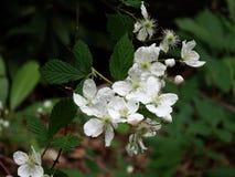 Jeżynowi kwiaty Zdjęcia Stock