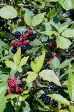 Jeżynowy krzak z owoc Fotografia Stock