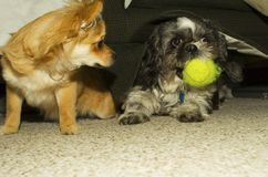 Jealous Pup. A jealous Pomchi puppy keeps an eye on a Shihtzu dog with a green tennis ball Royalty Free Stock Images