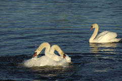 Jealousy. Two swans with necks wrapped around each other in a pre-mating ritual as the male's jealous mate looks on stock images