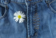 Jeans and daisy. Blue jeans close-up. Open zip with daisy royalty free stock photography