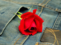 Jeans with red rose Royalty Free Stock Photos