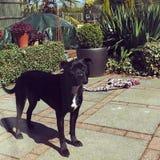 Jeb. My sisters dog Royalty Free Stock Photos