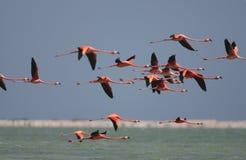 Jechał flaminga, Amerykański flaming, Phoenicopterus ruber fotografia royalty free