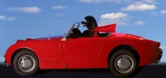 jedź pudel marzeń Obraz Royalty Free