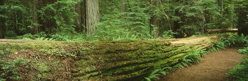 Jedediah Smith Redwood State Park. Stock Photography