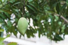 Jeden świeży zielony mango Obraz Stock