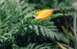 Jeden żółty dziki tulipan przeciw żywej zieleni tłu zdjęcia royalty free