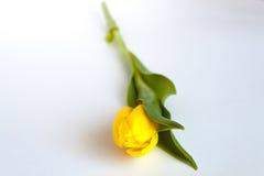 Jeden żółty tulipan Obraz Stock