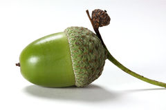 Jeden acorn Fotografia Royalty Free