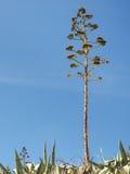 Jeden agawa z kwiatostanem odizolowywającym na niebieskim niebie Zdjęcia Stock