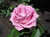 Jeden błękit róży kwiat 'Błękitny Parfum' Fotografia Royalty Free