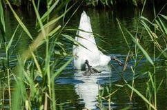 Jeden biały Łabędzi nurek Zamknięty wiev na białym łabędź z jego głową pod wodą obrazy stock