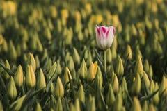 Jeden biały tulipan z czerwieni granicą Zdjęcia Royalty Free