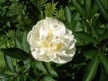 Jeden biały peonia kwiat 'A e Kunderd Obrazy Royalty Free