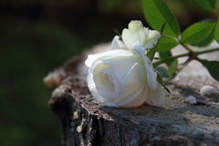 jeden biały rose Fotografia Royalty Free