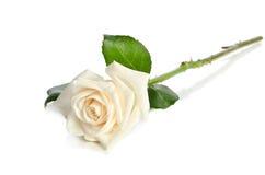 jeden biały rose Obrazy Royalty Free