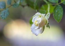 jeden biały rose Zdjęcie Stock