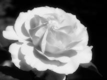 Jeden biel róża na czarnym tle w mglistym brzmieniu fotografia stock