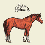 Jeden brown koń Obrazy Royalty Free