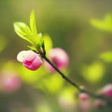Jeden brzoskwini okwitnięcia kwiatu pączek Zdjęcie Stock