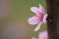 Jeden brzoskwini okwitnięcie otwarty w wiośnie Obraz Royalty Free