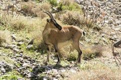 Jeden Capra aegagrus cretica dzikie zwierzę w Greckich górach Obraz Royalty Free