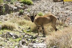 Jeden Capra aegagrus cretica dzikie zwierzę w Greckich górach, ciekawa twarz Obrazy Royalty Free
