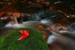 Jeden czerwieni liście klonowi w tropikalnym lesie deszczowym zdjęcie stock