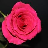 Jeden czerwieni róża na ciemnym tła zakończeniu zdjęcie stock