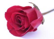 jeden czerwieni róży biel Zdjęcia Royalty Free
